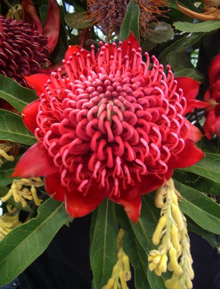 Flowers for Everyone - Waratah Flowers - These would be lovely to have in my garden #waratah #australian #flowers