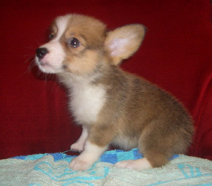 sable corgi puppies | ... Puppies for Sale: Local: Pembroke Welsh Corgi for sale to good homes