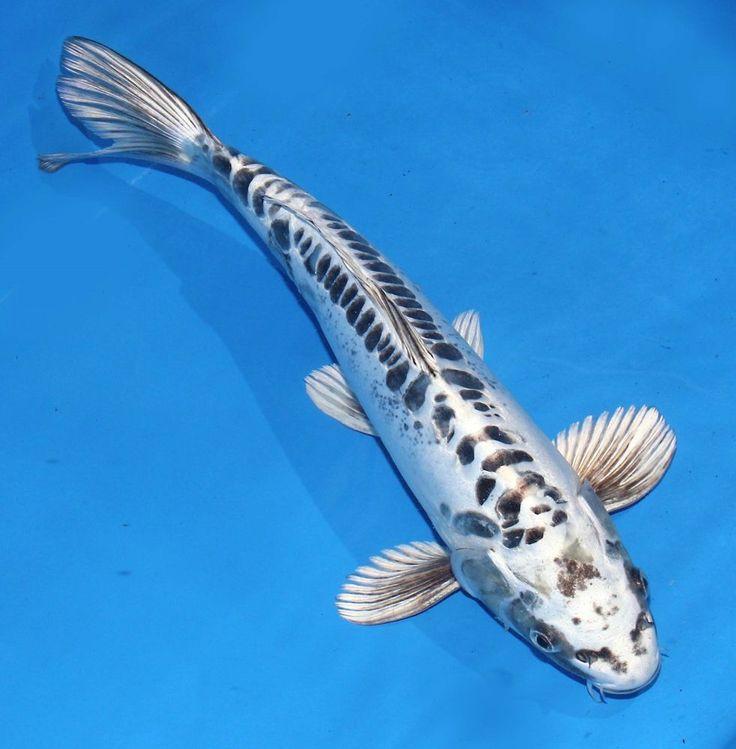 Live koi fish 13 14 scaleless doitsu white matsuba ghost for White koi carp
