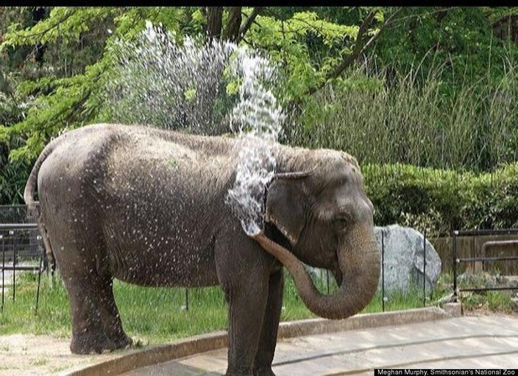 Asian Elephants    Average Life Span: 60 Years