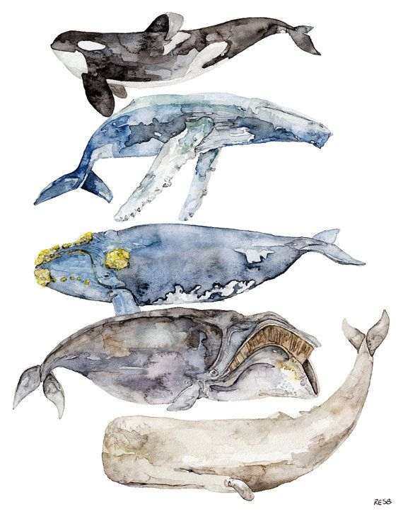 "5 Whales Painting - Print from Original Watercolor Painting, ""Whale Species"", Nautical, Beach Decor"