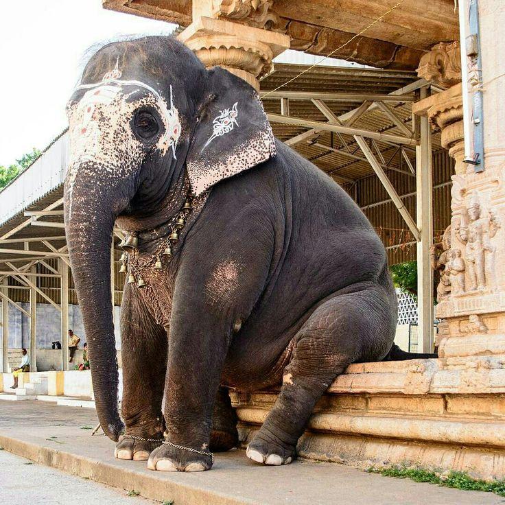 India. The temple elephant taking a break.