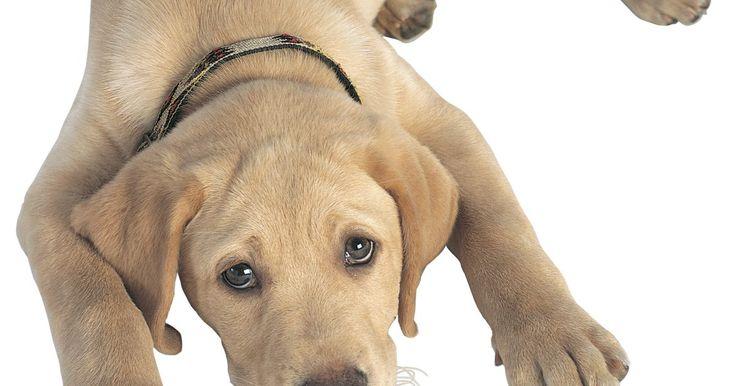 """Como treinar um cão adulto em casa. Como treinar um cão adulto em casa. Todos já devem ter ouvido o ditado: """"papagaio velho não aprende a falar"""". Não acredite nisso! Você pode treinar um cachorro para comportar-se dentro de casa em qualquer idade. É de fato mais fácil quando o cão é jovem mas, se seguir os princípios comportamentais, você conseguirá treinar em casa seu cão adulto em ..."""