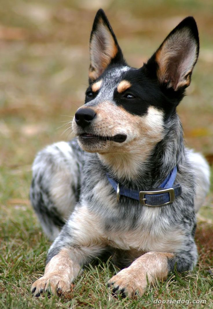 AUSTRALIAN CATTLE DOG/BLUE HEELER | Australian Cattle Dogs ...