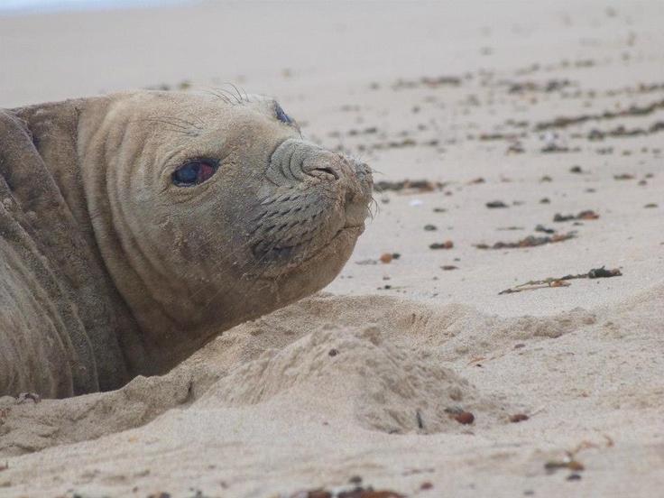 The Seal we seen along the beach at Carpenter Rocks
