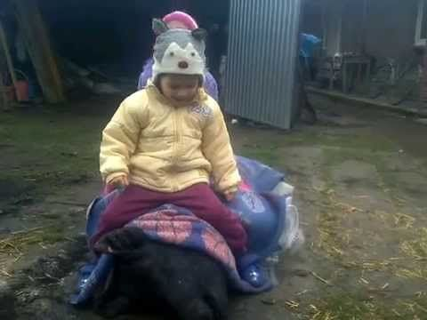 Share, Like & Commen calare pe porc