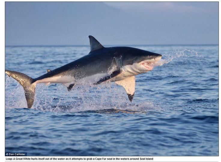 Hora do almoço! Tubarões brancos dão saltos impressionantes para capturar focas  - Fotos - R7 Bichos