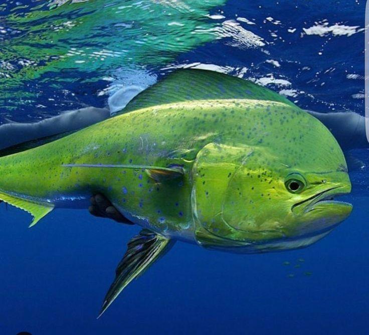 Dolphin Fish/Mahi Mahi (Coryphaena hippurus)