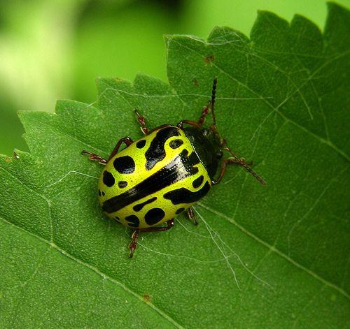 Nicely patterned leaf beetle (Calligrapha sp)