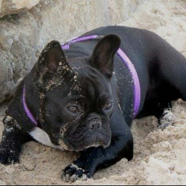 My name is Lola, I am a show girl...and the most beautiful Frenchie in the world.