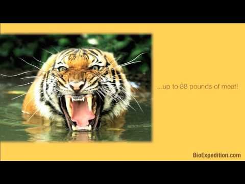 Information about Tigers