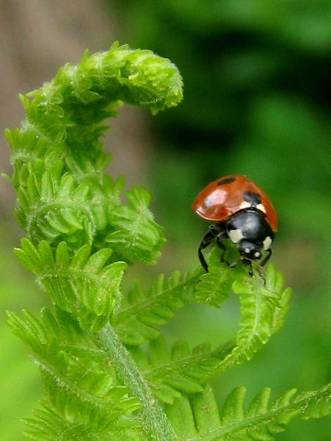1000+ images about LOVE Ladybugs! on Pinterest | Flies ...
