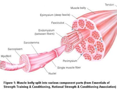 Muscle growth and strength after exercise. Physiology of training.