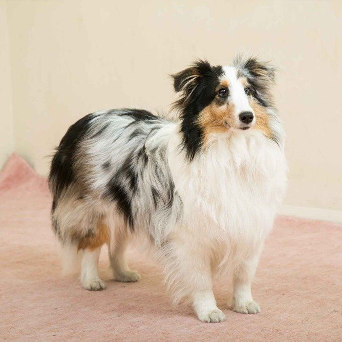 のんびりまったりがだ いすき 穏やかな犬種2選 いぬのきもちweb Magazine 犬 いぬ 可愛い犬