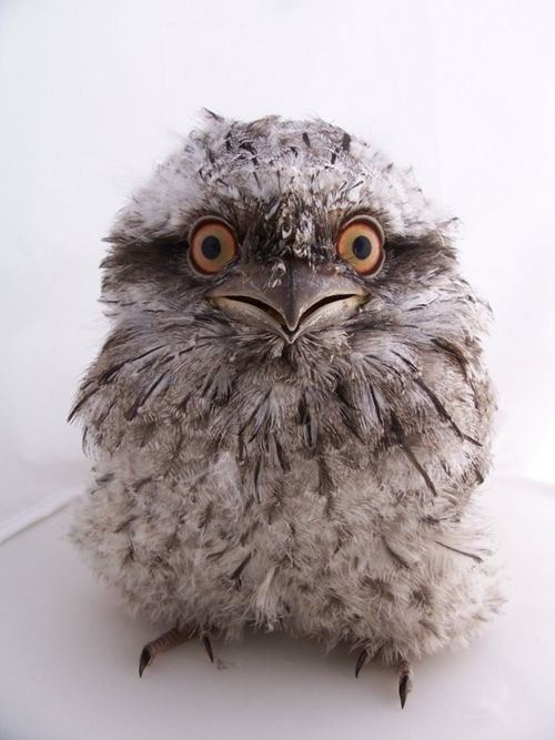 """The tawny frogmouth owl (Podargus strigoides) is found throughoutAustralia, including Tasmania. The nocturnal bird is known to have a soft, deep call that sounds like ;ooom, ooom, ooom."""""""