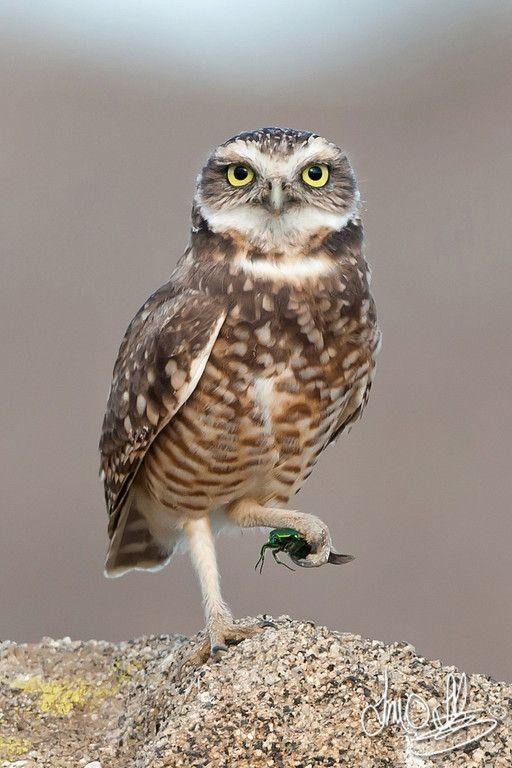Burrowing Owl with beetle Riverside County, CA