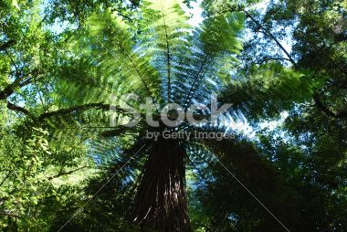 Punga Tree Fern Canopy, New Zealand Royalty Free Stock Photo