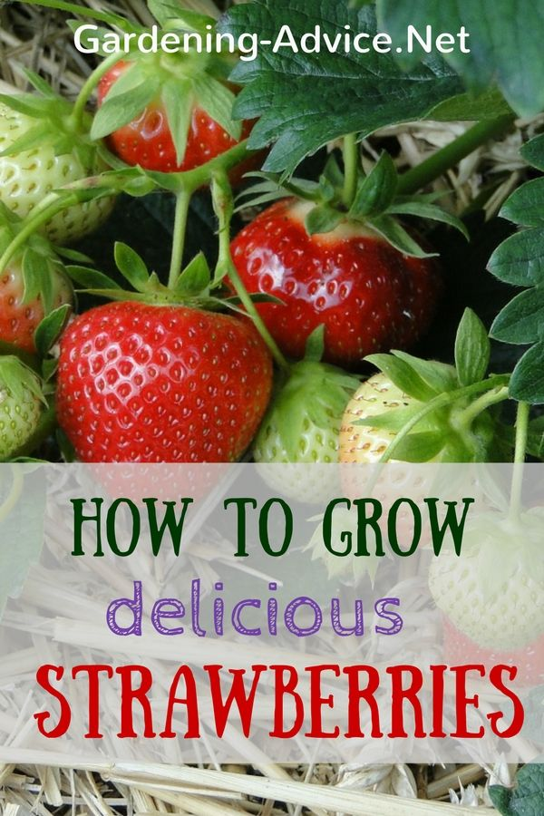 Follow these tips for growing strawberries for an abundance of delicious fruit…