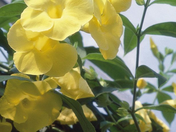the golden trumpet allamanda cathartica is a vigorous. Black Bedroom Furniture Sets. Home Design Ideas