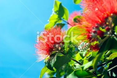 New Zealand Pohutukawa and Sky Royalty Free Stock Photo