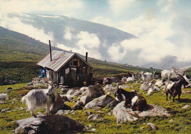 Aurland. Seter med geiter ( Mittet 1973 - 3298/24)