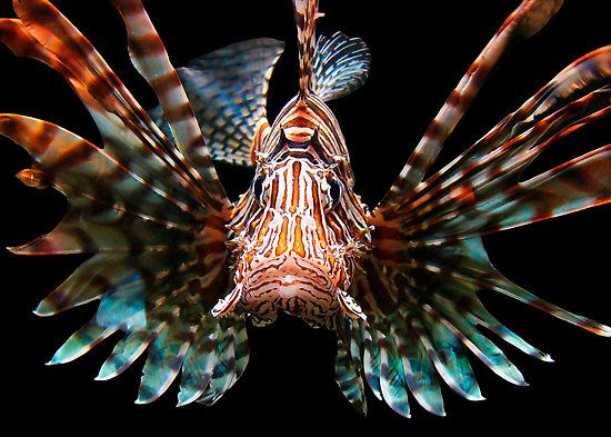 Lionfish. Sadly now a pest in southern states. Maybe destined for my upstate aquarium. Added bonus? They'll double as Sunday BBQ appetizers ;)