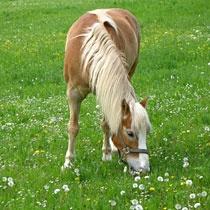 Halfinger Pferde im Arhntal