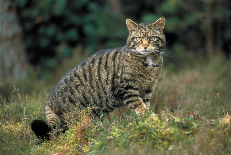 Highland Cat Killing and Cat Demons - Beachcombing's Bizarre ...