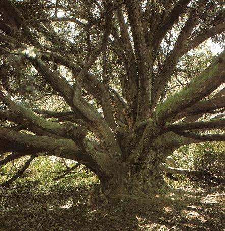 De oudste naaldboom van België is wellicht de taxus die groeit op het domein Valduc in het Waals-Brabantse Hamme-Mille nabij Leuven. De boom zou omstreeks 1232 geplant zijn toen op die plaats een cisterciënzerabdij werd gesticht. Deze taxus of venijnboom met een prachtige kroon van 30 meter breed en zware takken heeft een omtrek van 5,35 m, gemeten op 20 cm hoogte (de plaats waar de stam het smalst is). Deze afmetingen maken een leeftijd van bijna 800 jaar vrij aannemelijk.