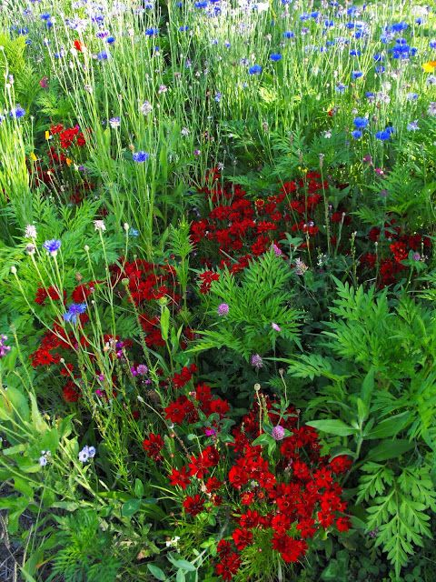 A close up of part of my wildflower garden in New Zealand