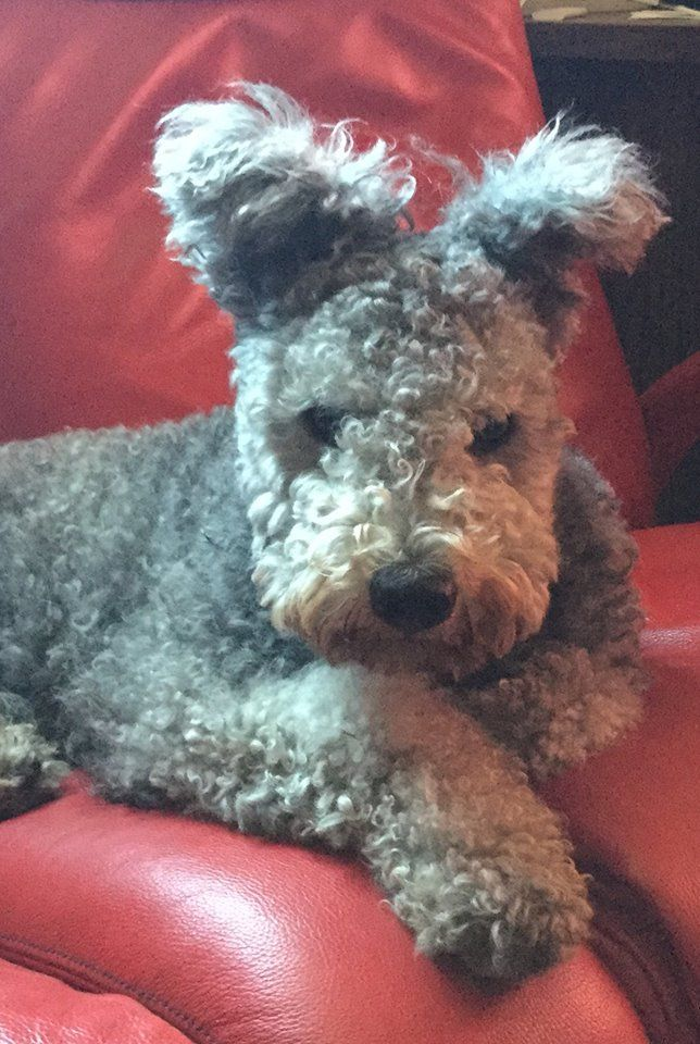 Awww, so cute! #pumi #pumidog