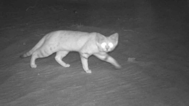 Rare And Elusive Arabian Sand Cat Photographed For The First Time - Animal shelter makes hilarious low budget cat commercial that ends up going viral