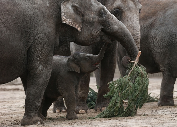 Here Are Some Elephants Eating Christmas Trees    An annual post-holiday tradition at the Berlin Zoo.   Buzzfeed
