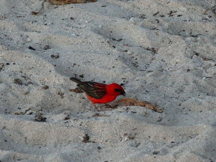 little red bird, Mauritius