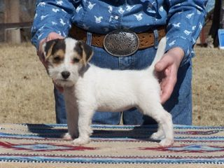 long haired jack russell terrier puppies for sale long haired jack russell terrier puppies for sale in kent 3381