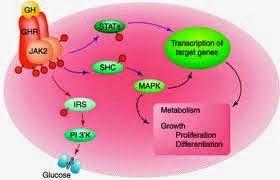 A elevada afinidade da proteína de ligação do GH-hormônio de crescimento (GHBP), o autodomínio solúvel do receptor do hormônio de crescimento (GHR), é parte integrante do hormônio de crescimento (GH)-insulin-like eixo do fator de crescimento. Dependendo das espécies, isto é, um produto de clivagem do receptor do hormônio de crescimento (GHR), ou uma variante de splicing do gene do GHR receptor do hormônio de crescimento.