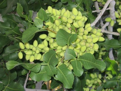 PHOTO: pistachio nuts on tree Best Nut Trees for desert ...