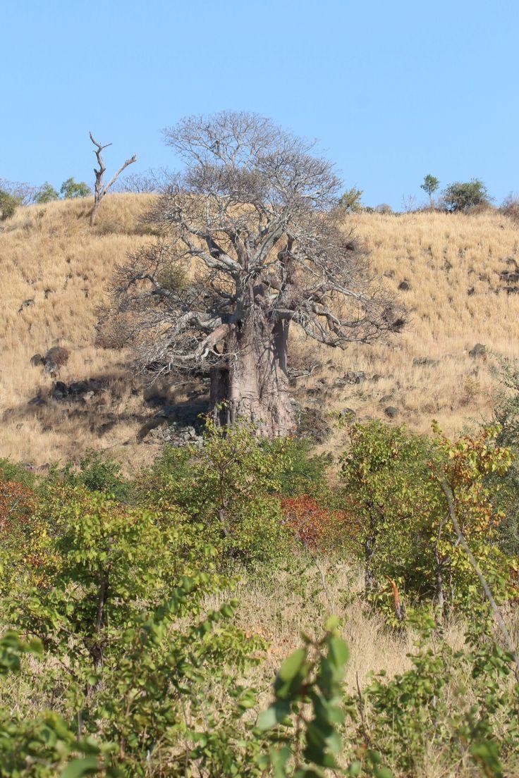Baobab Mopani KNP