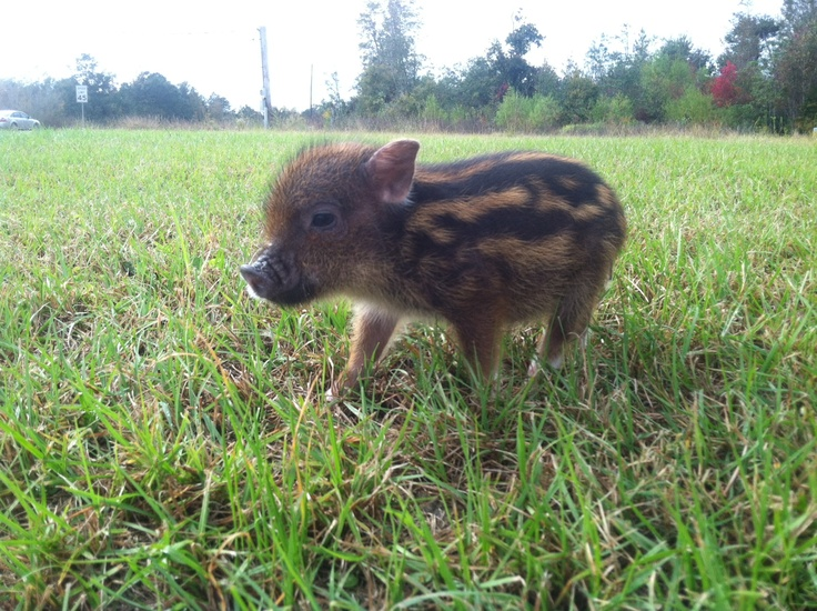 Chipmunk colored Teacup mini pot bellied pig! SO ADORABLE!! And one of the smartest animals too!
