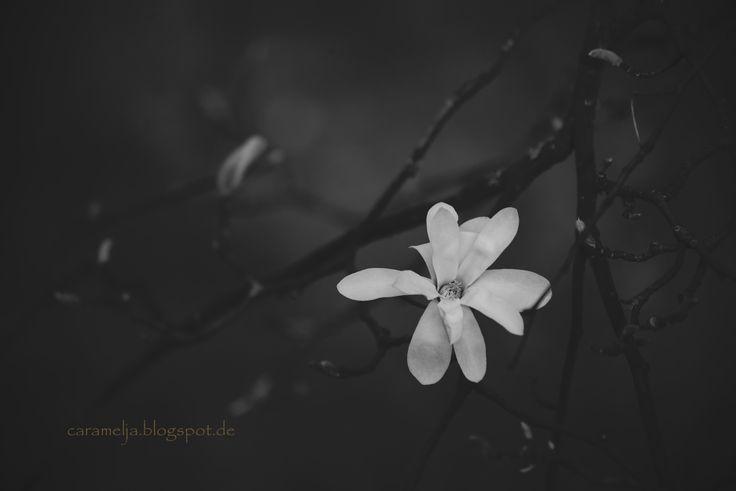#grey #flowers #magnolia