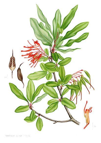 Plantas de los Bosques de Chile | Las pinturas | Español