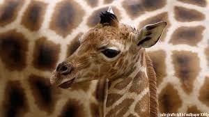 Image result for sleeping giraffe