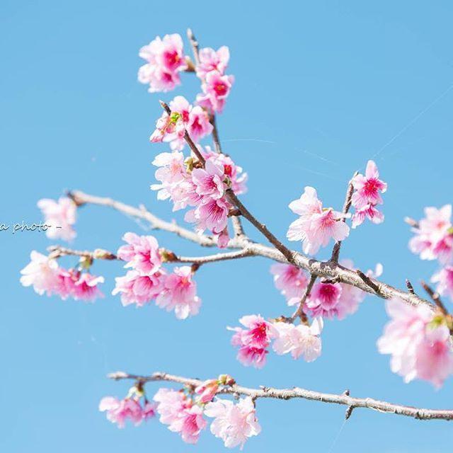 【mameda_photo】さんのInstagramをピンしています。 《. . サクラサク . . 日本で一番早いさくらまつり . . 沖縄県 本部町 八重岳 . . #写真好きな人と繋がりたい #ファインダー越しの私の世界 #沖縄 #沖縄カメラ #写真好き #canon #キヤノン #5dmark3 #東京カメラ部 #japan_of_insta  #風景 #サクラ #桜 #沖縄の桜 #寒緋桜 #緋寒桜 #Sakura #八重岳 #本部町八重岳 #濃いピンク色 #日本で一番早いさくらまつり #CherryBlossoms》