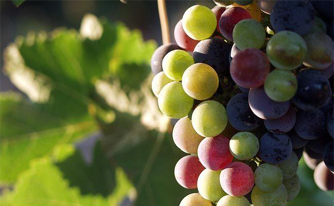 A szőlőmag, mint egyik legjobb antioxidáns