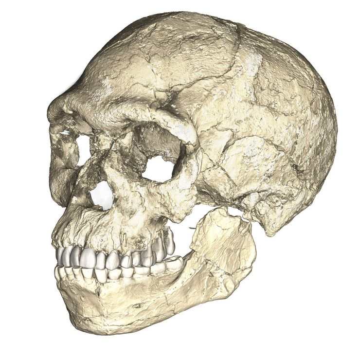 A composite reconstruction of the earliest known Homo sapiens fossils from Jebel Irhoud in Morocco based on micro computed tomographic scans of multiple original fossils.