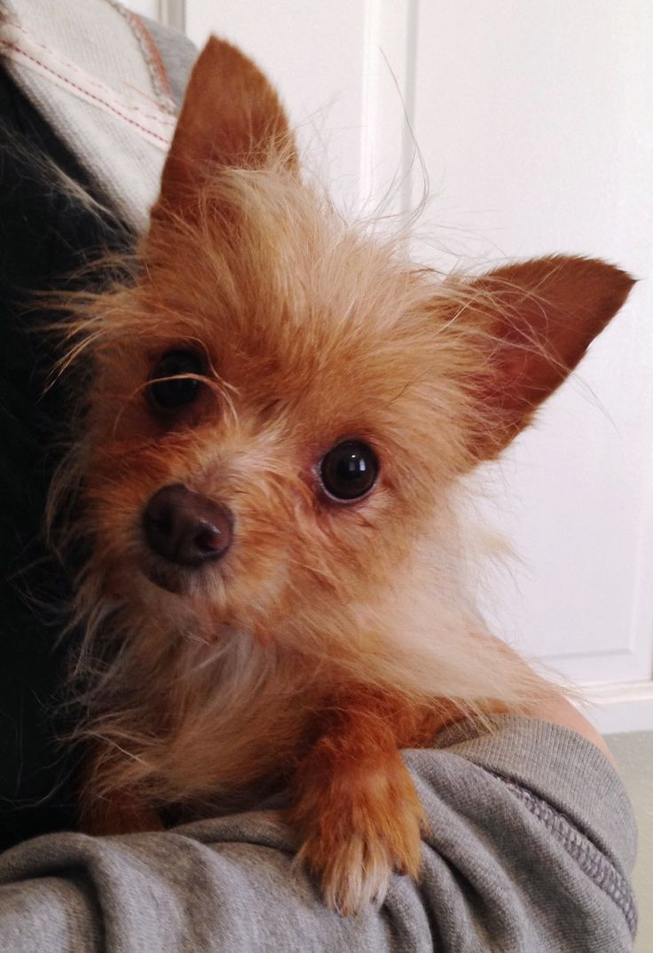 Yorkie Chihuahua Mix | Let's help to Adopt! 3 | Pinterest