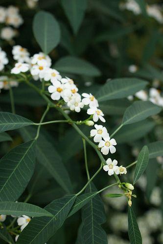 Euphorbia fulgens wolfsmelk namenlijst snijbloemen 1 pinterest white flowers the o jays