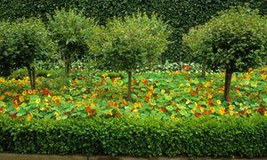 Standard gooseberries with nasturtiums and low box hedging.