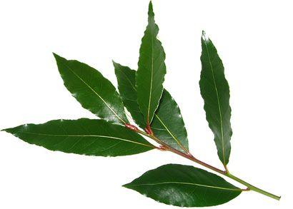 Feuilles de laurier-sauce anti-stress.  Le LAURIER-SAUCE est considéré comme la plante de la SERENITE, mais ont de multiples propriétés anti-inflammatoires, sédatives, antifongiques, antivirales et antiseptiques, et anti-anxiété et anti-dépressives, car les feuilles de laurier agissent sur le système nerveux en le régulant, notamment en période d'anxiété ou de dépression...