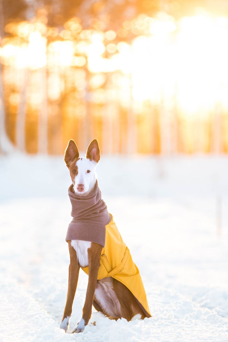 Mango, an Ibizan Hound Dog, playing in the snow in their Yellow Voyagers K9 Apparel Winter Coat. Voyagers K9 Apparel makes breed-specific, custom dog coats to keep dogs warm and dry during the cold months. Check us out at www.k9apparel.com